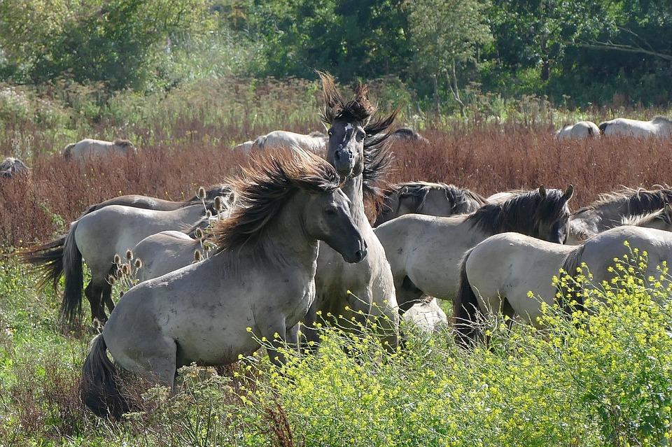 Wilde paarden Oostvaardersplassen